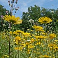 Полевые цветы на зеленом лугу... :: Galina Dzubina