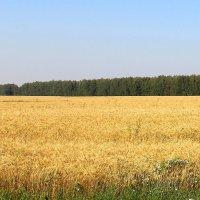 Хлебное поле. :: Борис Митрохин