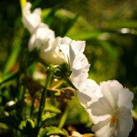 Цветы :: Татьяна Толмачева