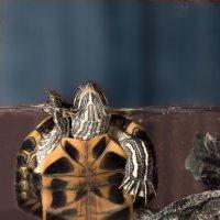 Приветствие черепахи :: Юрий Пузанов
