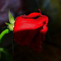 О розе в свете фоноря :: Милешкин Владимир Алексеевич