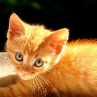 Рыжий котенок. :: Vladimir Kushpil