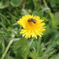 Пчела :: Вера Ярославцева