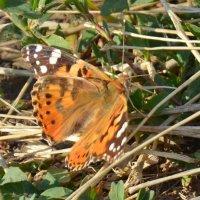 Бабочка :: Наталья Мельникова