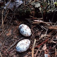 Яйца, чьи  вы?! :: Vladimir Semenchukov