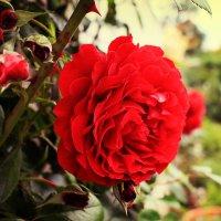 шипы и розы :: Евгения Калугина