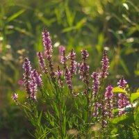 прибрежные цветы :: Виталий