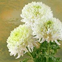 Букет белых хризантем :: Светлана Л.