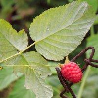 ягода малина :: Виктория Цурикова