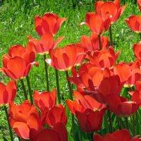 Тюльпаны :: Наталья (Nattina) ...