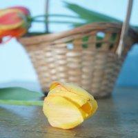 Жёлтый тюльпан :: Арина