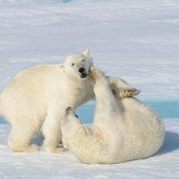 Белые медведи :: Alexey alexeyseafarer@gmail.com