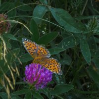 Бабочка на клевере :: Сергей Цветков