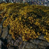 Морские водоросли во время отлива (залив Fundy, New Brunswick, Canada) :: Юрий Поляков