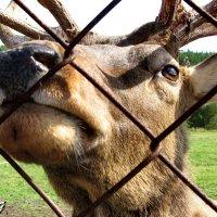 Благородный олень (марал) :: OLLES