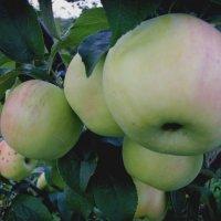 Яблоки сорта Фермер :: Надежда Климова