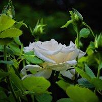 Белые розы, белые розы...(Да будет свет,чб.) :: Павел Петрович Тодоров