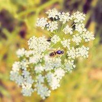 Пчелка :: Вадим Аминов