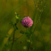 Цветок клевера :: Татьяна Соловьева