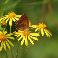 Бабочка на цветке :: Александр Щеклеин