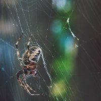 паук :: Ольга Баганина