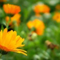 Оранжевые ромашки... :: Арина