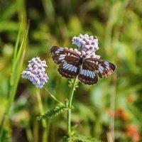 бабочка :: Сергей Сол