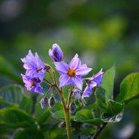 Цветение картофеля :: Tatyana Nemchinova