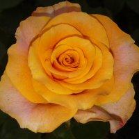 ах.., эти розы.. :: Марина