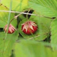 ягоды отходят :: игорь
