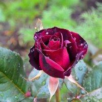 Гламурная роза :: Милешкин Владимир Алексеевич