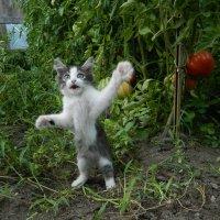 Вот такие помидоры ! :: Сергей Босов