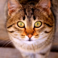 Горный кот :: Юрий Бачурин