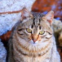Горный кот. :: Юрий Бачурин
