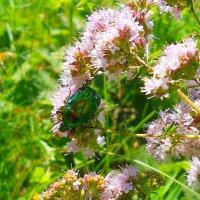 Зелёный жук :: Виктор Шандыбин
