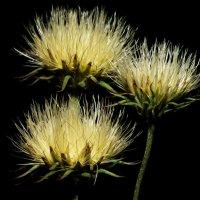Три цветка :: Оксана Лада