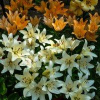 лилии эти растут в Троицкой Сергиевой Лавре :: Светлана .