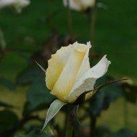 Белая роза :: Luba Thomas