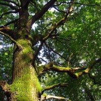 Любимый дуб, освещенный солнцем :: Андрей Лукьянов