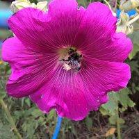 Мальва с пчелкой :: Елена Семигина