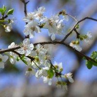 Цветение вишни - одно из самых изумительных зрелищ, которые дарит нам весна. :: Оля Богданович