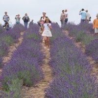 Лавандовое поле :: Larisa Freimane