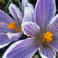 Первые цветы.... :: Ирина Телегина