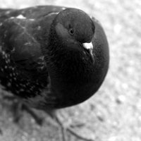 голубь обыкновенный :: Алексей Башкирцов