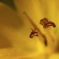 Внутренний мир цветка :: Николай Сапегин