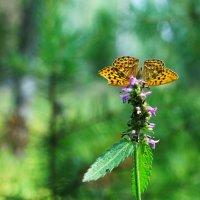 бабочка Монарх :: Андрей Куприянов