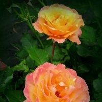Розы :: Сергей Карачин