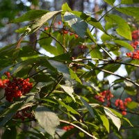 Волчья ягода 2 :: Сергей Щеглов