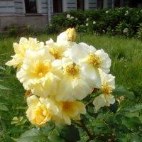 Розы в парке. :: Светлана Калмыкова