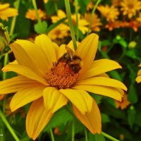 Жёлтый  нектар :: galina tihonova
